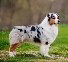 australian shepherd akc titled u0026 bred by dogs