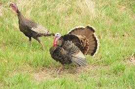 Thanksgiving Bird Facts About That Thanksgiving Bird Fish And Wildlife Service