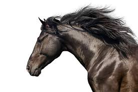 Black Mustang Horse Pictures Horse Pictures Images And Stock Photos Istock