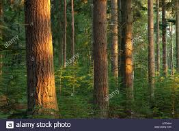 pine trees with evening sunlight rhinefield ornamental drive new