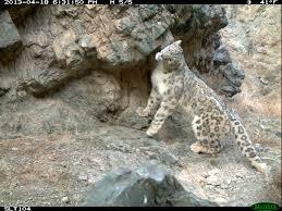 Photos Of Snow Conservation Program Raises 1 Million For Snow Leopards Snow