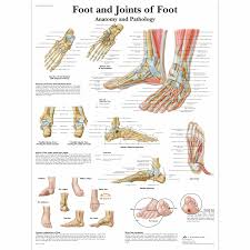 Collateral Ligaments Ankle Anatomical Charts And Posters Anatomy Charts Foot And Ankle