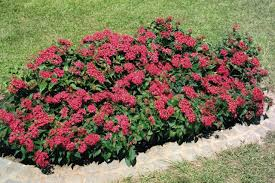 pentas flower pentas lanceolata kaleidoscope annual benary