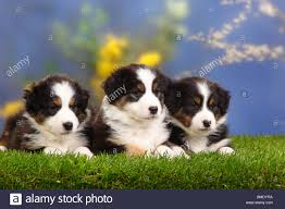 mini australian shepherd 7 weeks australian shepherds puppies 7 weeks black tri stock photo