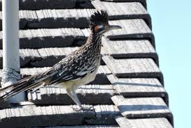 chicken emu ostrich roadrunner birds of murrieta