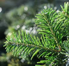 spruce tree for sale fast growing trees