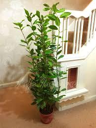 Fragrant Indoor House Plants - hardy fragrant aromatic laurus nobilis sweet bay tree in pot
