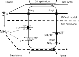 ammonia and urea transporters in gills of fish and aquatic