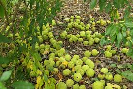tennis fruit in a land of plenty