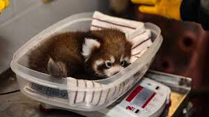 Chicago Lincoln Park Zoo Lights by Photos Red Panda Cubs Growing Quickly At Lincoln Park Zoo