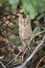 pallid scops owl wikipedia