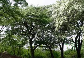 ornamental plant chionanthus retusus seeds 60pcs family oleaceae