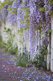 wisteria a dangerous beauty are you tempted how green is