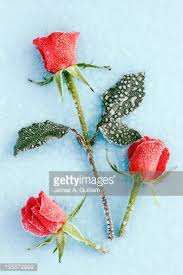 cut red rose lying on wooden table covered with frost stock photo
