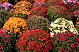 vermont garden journal growing chrysanthemums vermont public radio