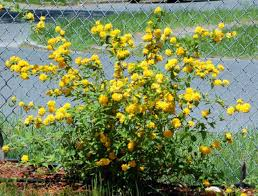 Yellow Pom Pom Flowers - use these yellow flowers pictures for garden inspiration shrub