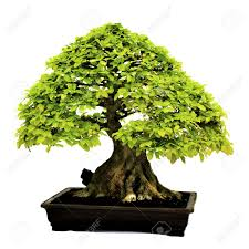 very old bonsai tree images u0026 stock pictures royalty free very
