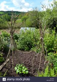 runner beans and climbing beans growing on cane wigwams with stock