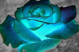 teal roses images blue roses for you berni wallpaper and