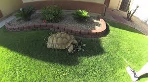 Tortoise Bedding Decorating Sulcata Tortoise Bedding African Spurred Tortoise