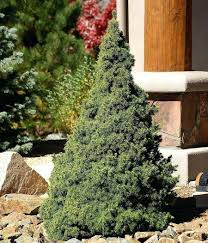 small spruce trees blue sale evergreen tree turning brown
