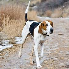 bluetick coonhound kennels in pa treeing walker coonhound puppies for sale from reputable dog breeders