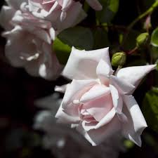 buy rose new dawn climbing rosa u0027new dawn u0027