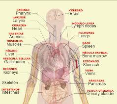 Female Abdominal Anatomy Pictures Female Abdomen Anatomy Human Anatomy Charts