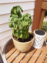 Growing Basil Bonnie Plants by Recipes Using Your Home Grown Basil Everything Emelia