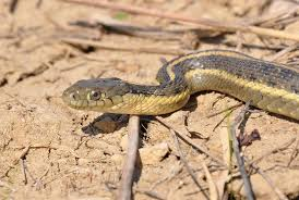 free picture garter snakes reptiles thamnophis sirtalis