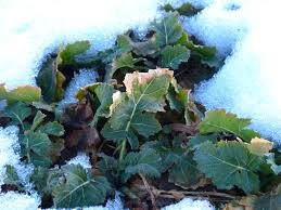 free images snow cold winter ground fruit leaf flower