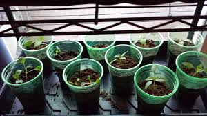 how does my garden grow my seedlings are growing indoor seed