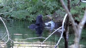 florida thanksgiving otters in our canal in south florida on thanksgiving youtube