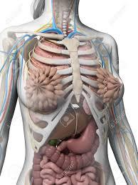 Anatomy Human Abdomen Human Anatomy Abdomen Female Gallery Learn Human Anatomy Image