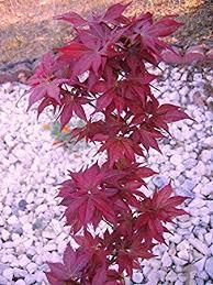 beni hoshi japanese maple 1 year live plant