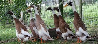indian runner duck association