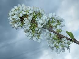 apple tree bloom wallpapers 105 royalty free apple tree flowers images peakpx
