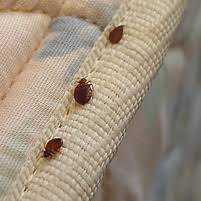 How To Identify Bed Bugs Bed Bug Information For Cleveland Troy How To Get Rid Of Bed Bugs