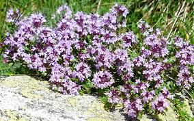 rockery plants top 10 plants for an alpine rock garden david