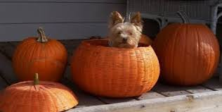 miniature yorkshire terrier yorkie costumes for halloween