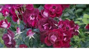 burgundy roses burgundy iceberg bush ladybird roses