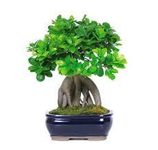 ginseng grafted ficus bonsai trees ficus bonsai and nursery trees