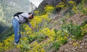 plants native to utah a closer look at northern utah u0027s 5 most wanted weeds u2013 standard