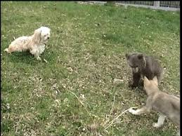 grizzly cub tag teamed by wolf cub and
