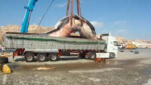 take this renault older volvo truck transports 35 ton dead whale