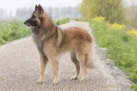 belgian shepherd kennels do you know numerous types of strong and sturdy shepherd dogs