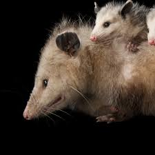 opossums national geographic