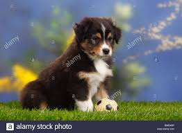 australian shepherd 11 weeks old australian shepherd puppy weeks black tri stock photos