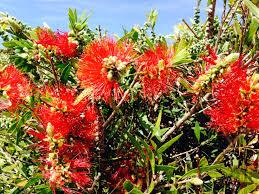 top spring flowers for sydney janna schreier garden design