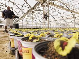Flowers Salinas - medical pot has speculators investing in salinas valley